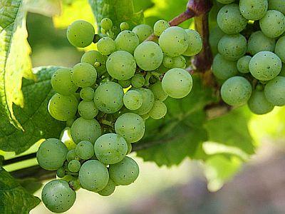 Die Frucht, aus der der Wein ist.
