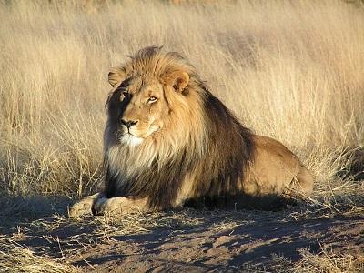 Löwe liegt in der Savanne